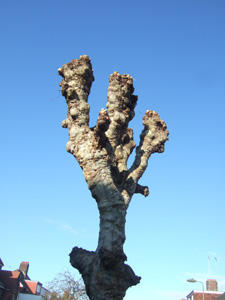 2.ginger tree